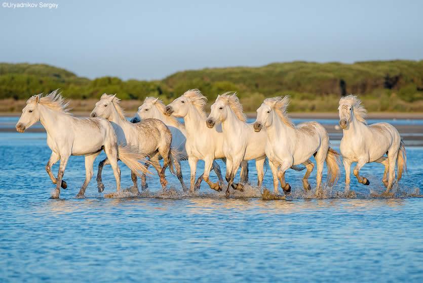 d1649b4a2f9 Chevaux blancs de Camargue courrant sur le sable